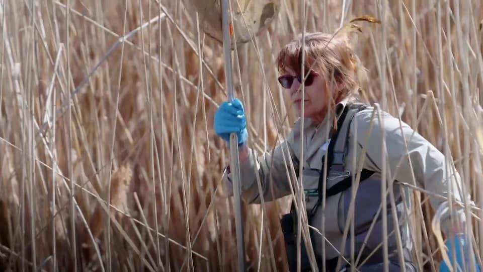 Une femme, munie d'une épuisette, marche à travers les plantes herbacées d'un marais.