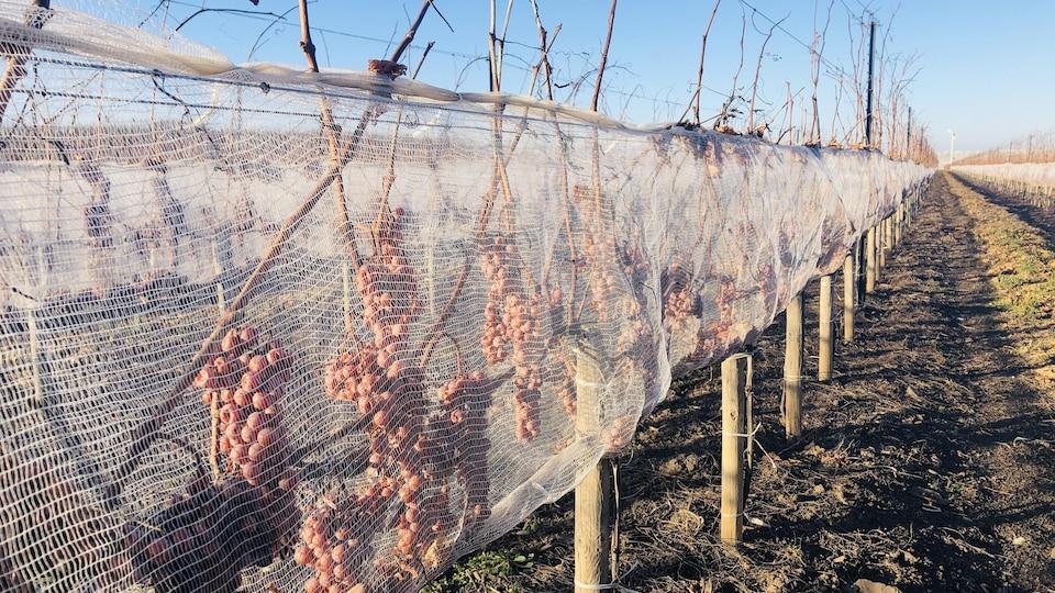 Des grappes de raisins sont protégées par des filets dans un vignoble ontarien.