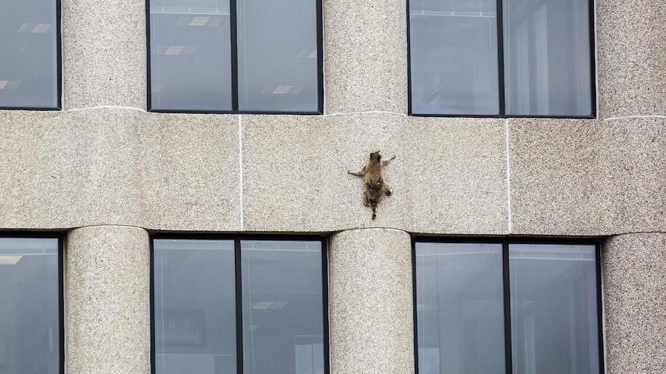 La raton laveur grimpe sur le mur de l'édifice.