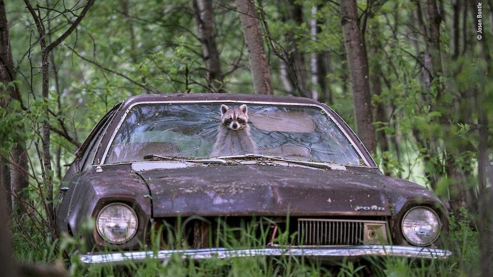 Un raton laveur sort d'une voiture à travers un trou dans le pare-brise.