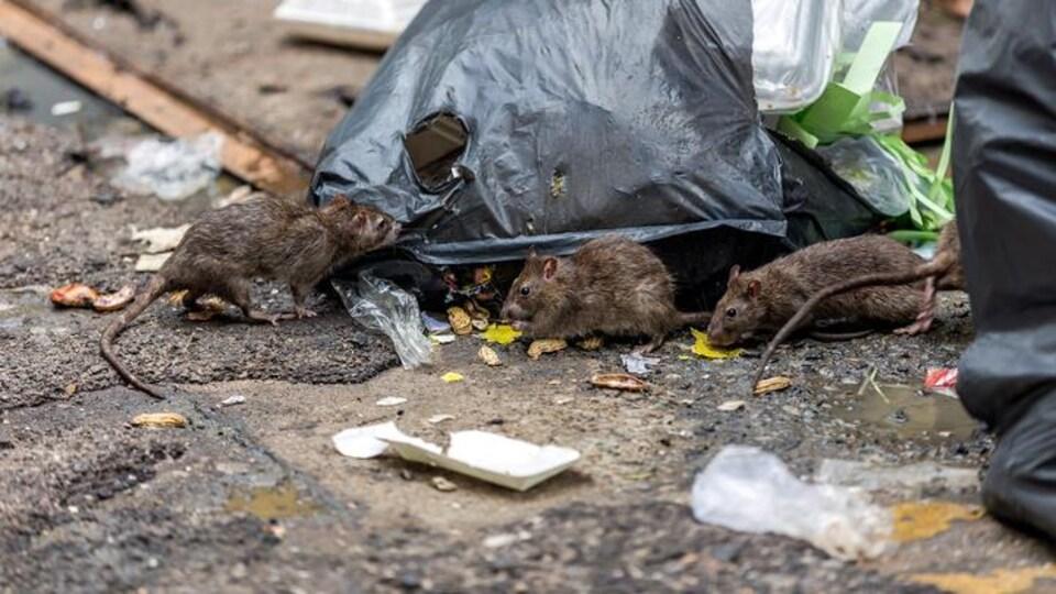 Des rats avec un sac de déchet.