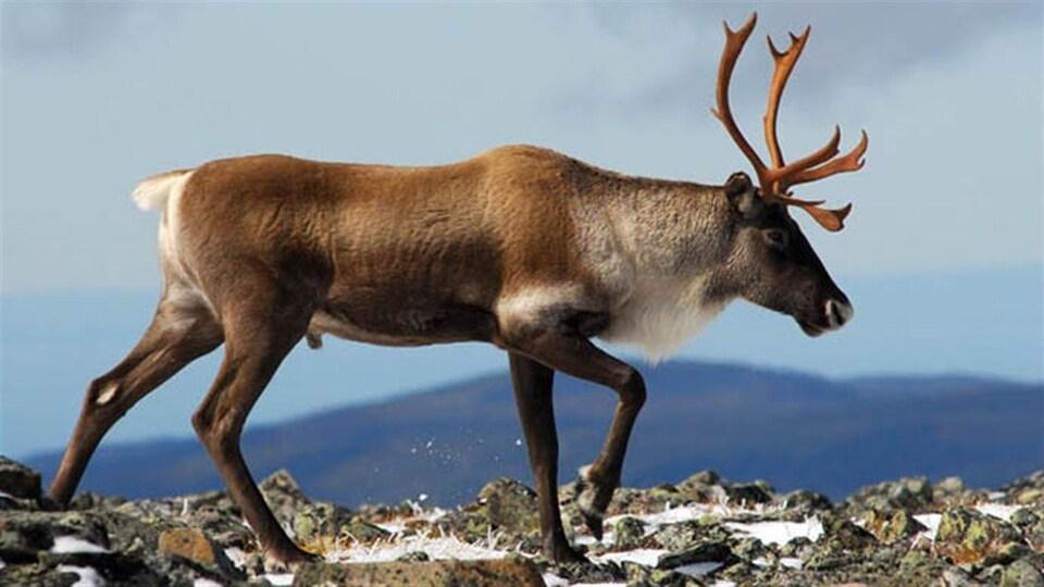 Un caribou dans le Parc de la Gaspésie