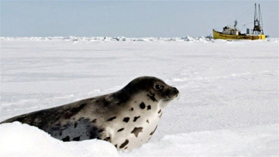 Un phoque du Groenland sur la glace.