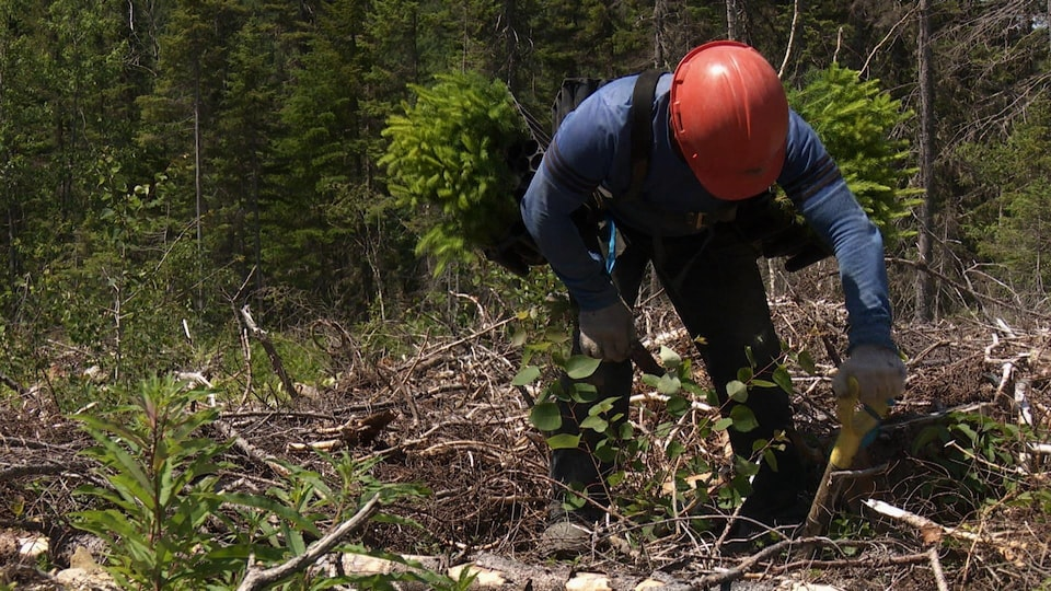 Les reboiseurs creusent le trou d'une main et plantent le semis de l'autre pour être le plus efficaces possible.
