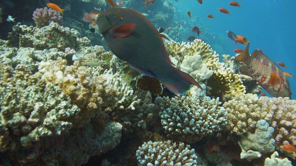 Les récifs de corail abritent un tiers des espèces marines et protègent les côtes des raz-de-marée.