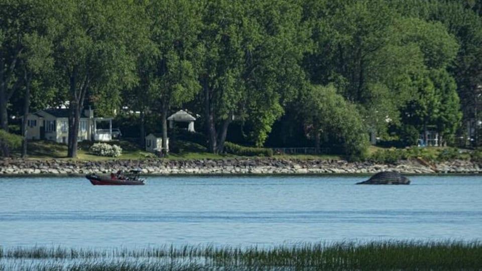 Un petit bateau tire la carcasse de la baleine sur l'eau.