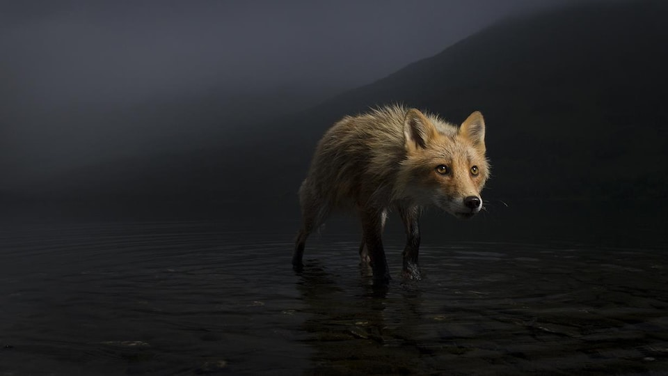 Une renarde marche dans des eaux peu profondes.