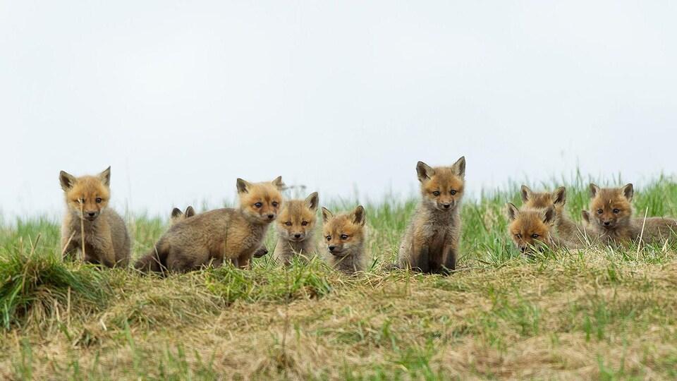 Neuf renardeaux dans un champ de longues herbes.