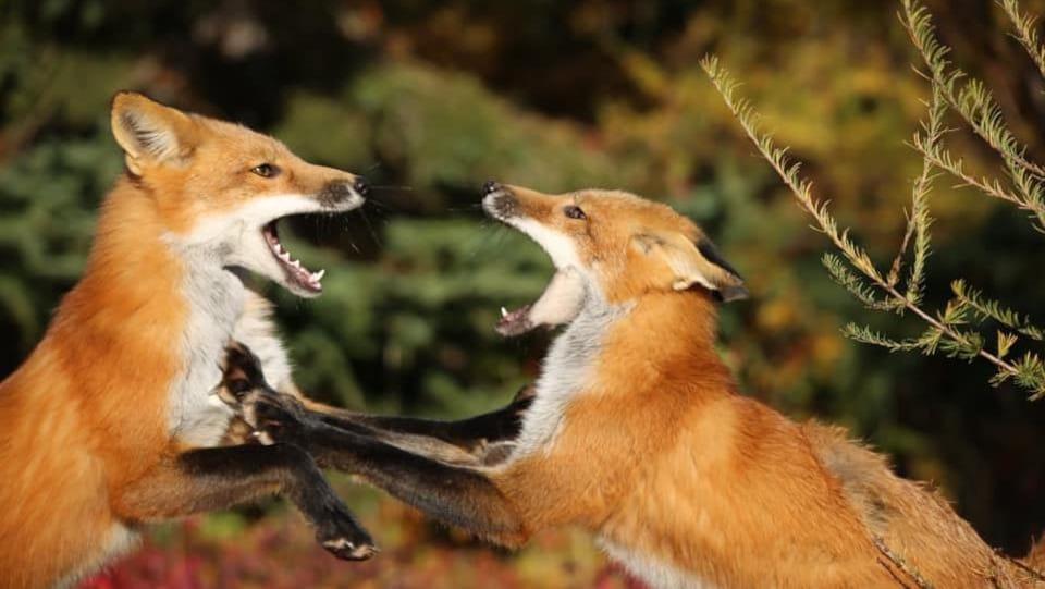 Deux renards la bouche ouverte.