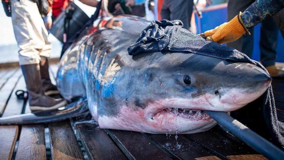Un grand requin blanc sorti de l'eau entouré de gens et montrant ses dents.