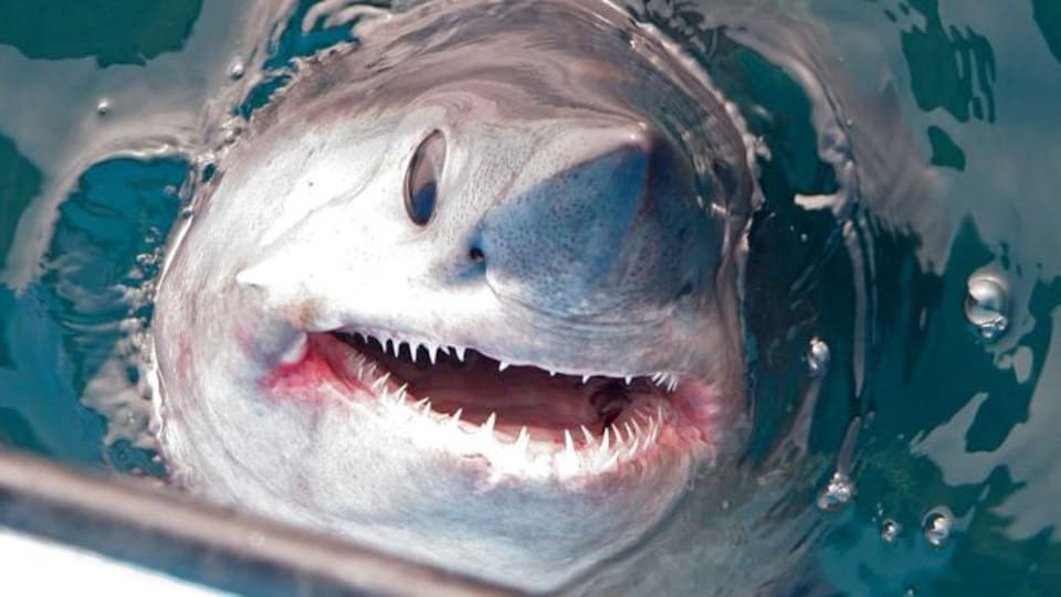 Un requin-taupe commun qui fait surface à côté d'un bateau