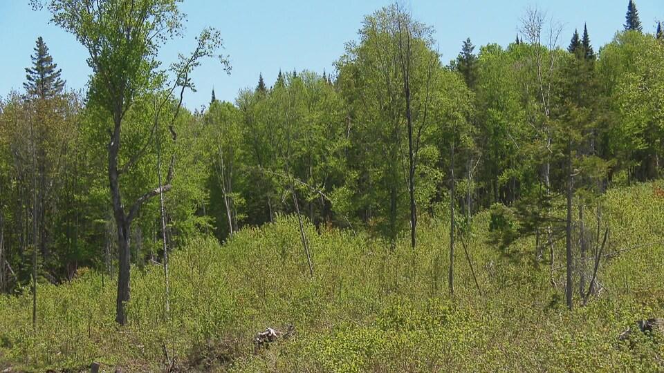 On voit une forêt composée de plusieurs essences matures en arrière-plan et de plus jeunes pousses au premier plan.