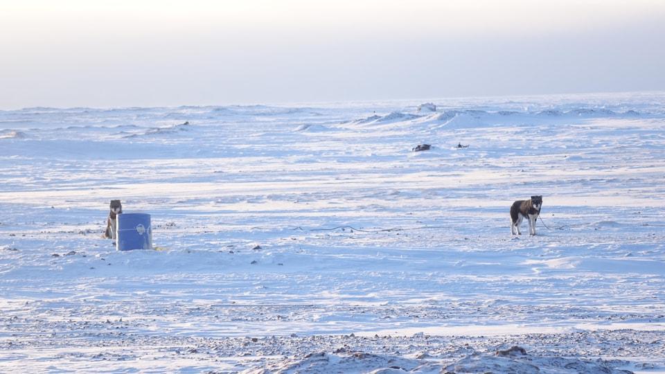 Deux chiens de traîneaux attendent leur maître, à quelques pas du village.