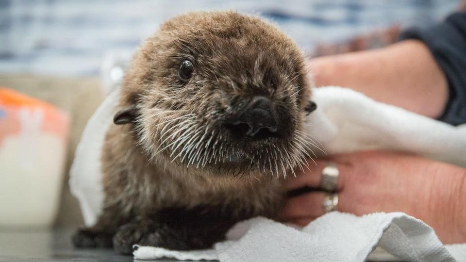 Rialto est un bébé loutre orphelin arrivé à l'Aquarium de Vancouver le 1er août 2016.