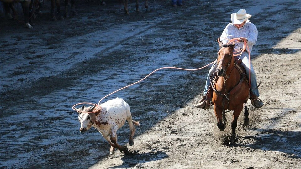 Un cowboy tente d'attraper un bouvillon au lasso au Festival western de Saint-Tite.