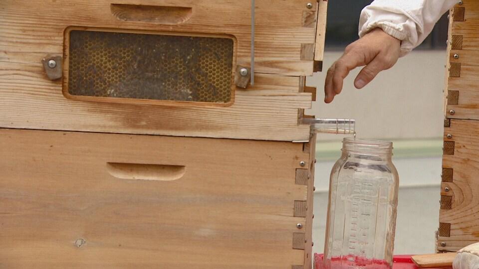 Du miel s'écoule d'un tuyau fixé à une ruche. Un contenant se trouve sous le tuyau pour amasser le miel.