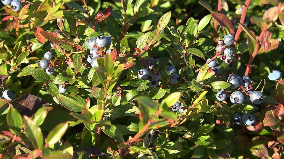 Un plant de bleuets.