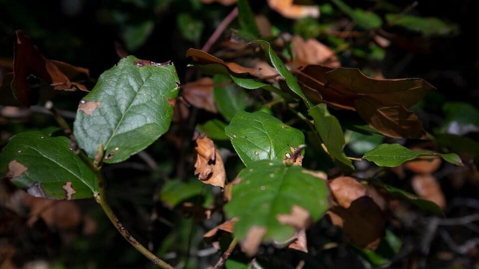 Des feuilles vertes dont certaines parties sont brunies.