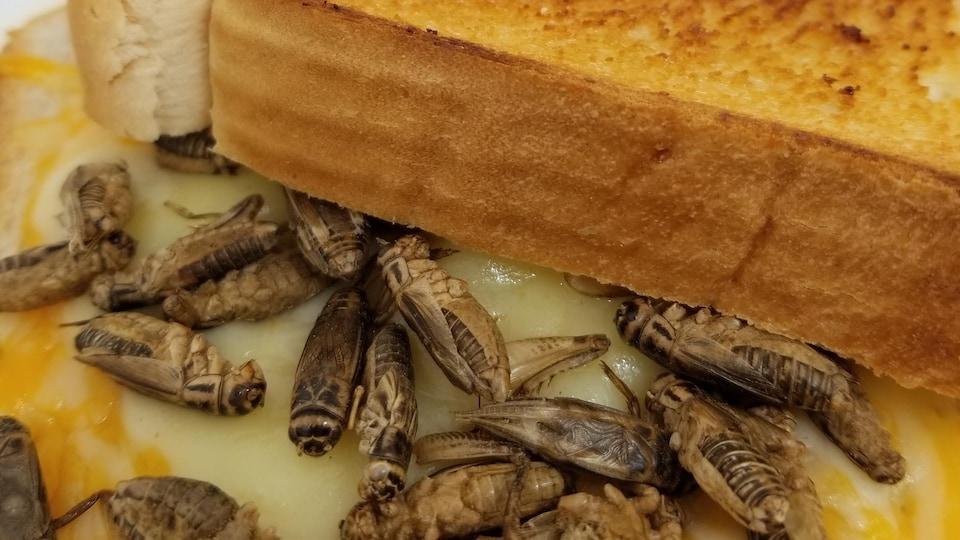 Sandwich au fromage fondu avec de petits criquets collés dans le fromage.