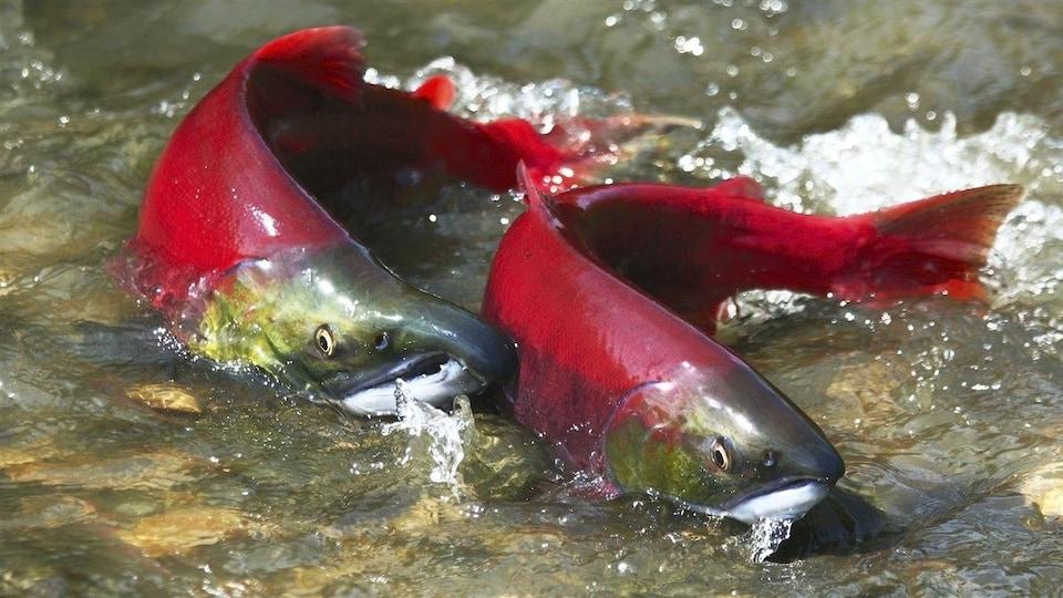 Photo de saumons rouges sockeye