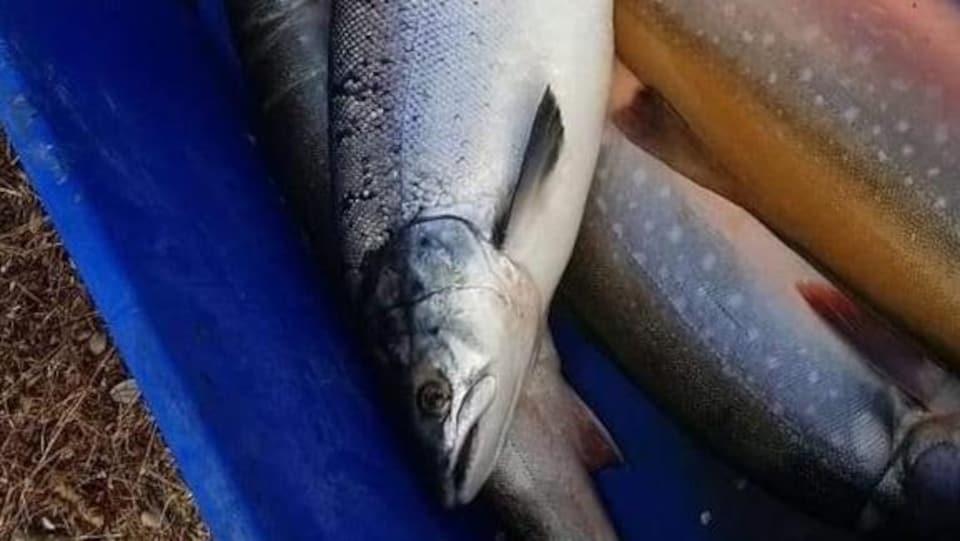 Des saumons de l'Atlantique dans un bac bleu.