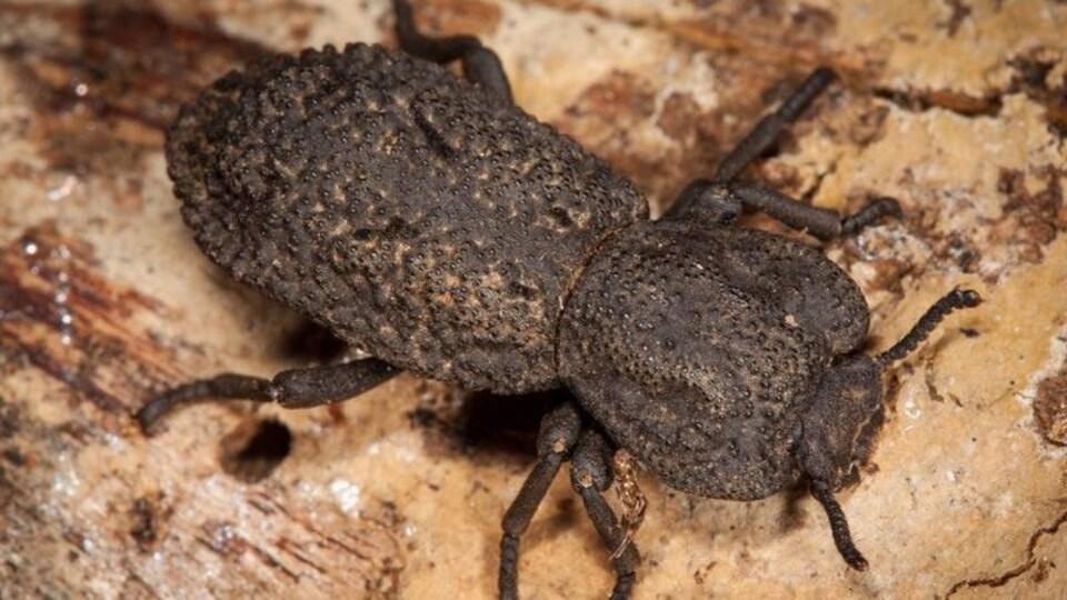 Le scarabée cuirassé diabolique ressemble à une petite roche d'environ 2 cm.