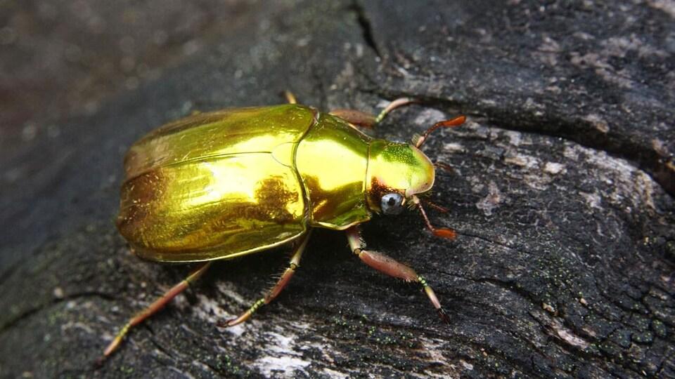 Un scarabée doré.