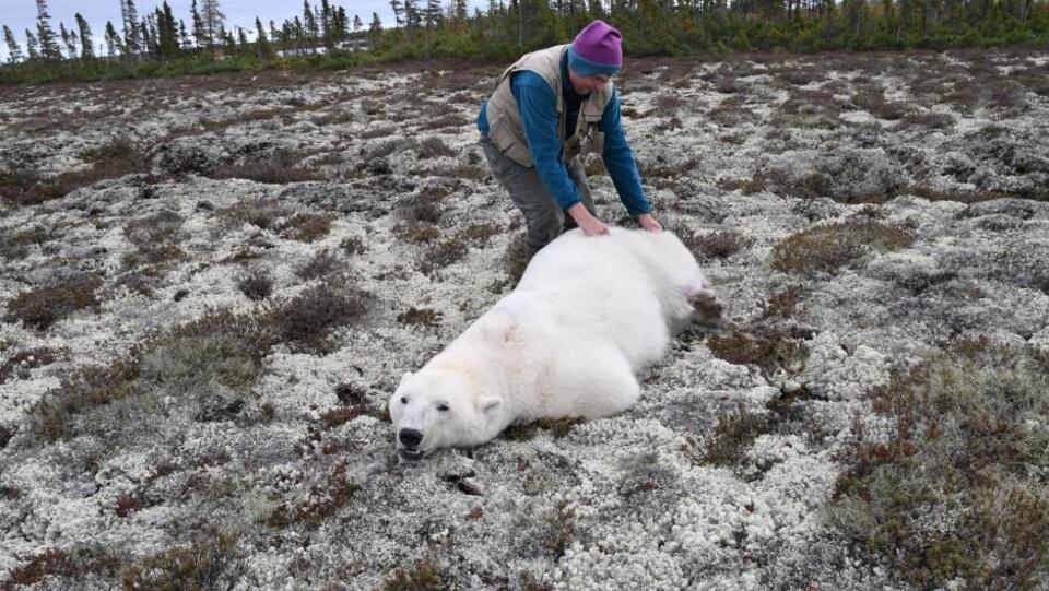 Le scientifique Nick Lunn manipule un ours qui a été tranquillisé.
