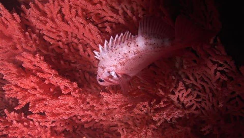 Un sébaste nage devant un corail rouge
