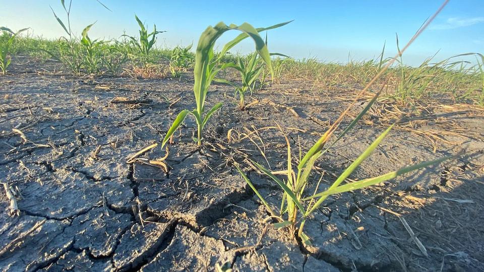 Des cultures sont en mauvais état à cause de la sécheresse au Manitoba en 2021.