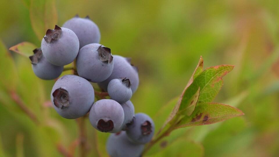 grappe de bleuets sauvages