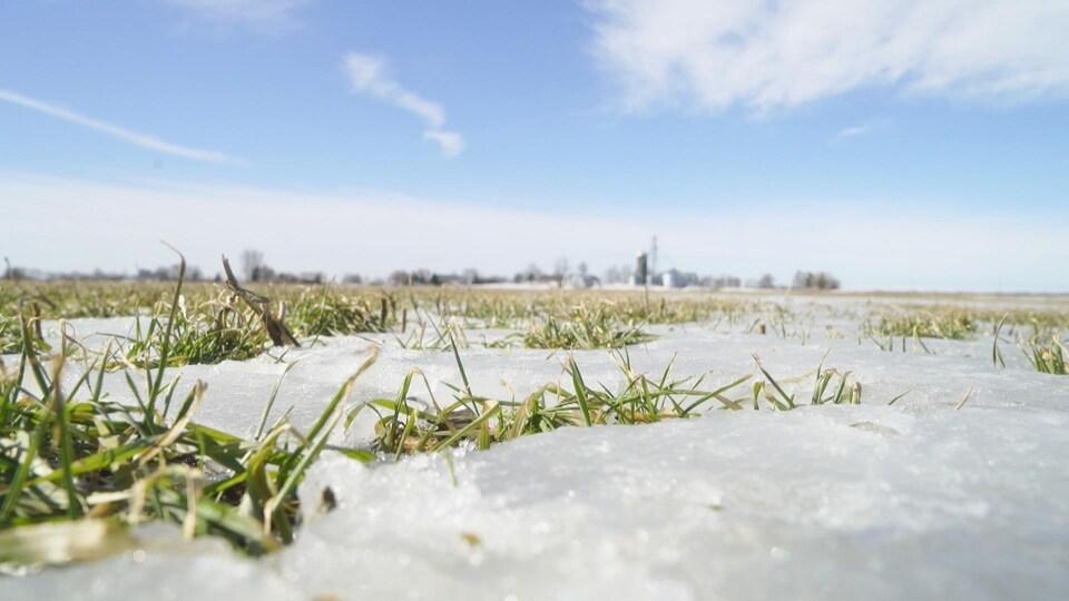 Des pousses de blé encore vert à travers la neige dans un champ.