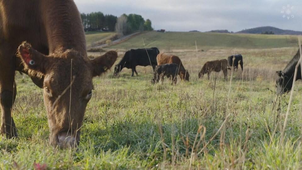 Un troupeau de bœufs dans un pâturage.