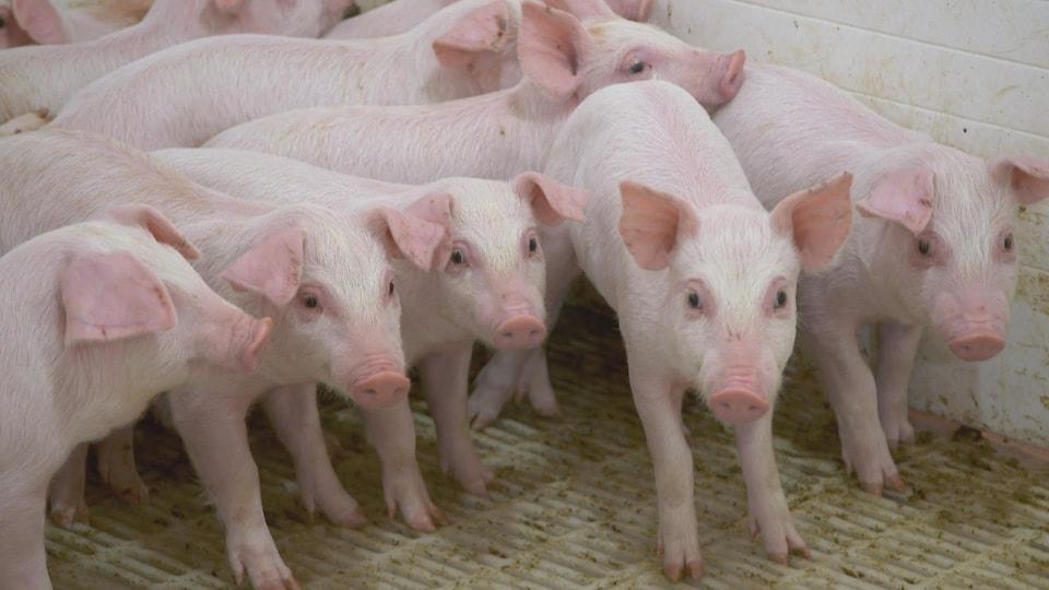 Un petit groupe de porcelets dans un élevage.