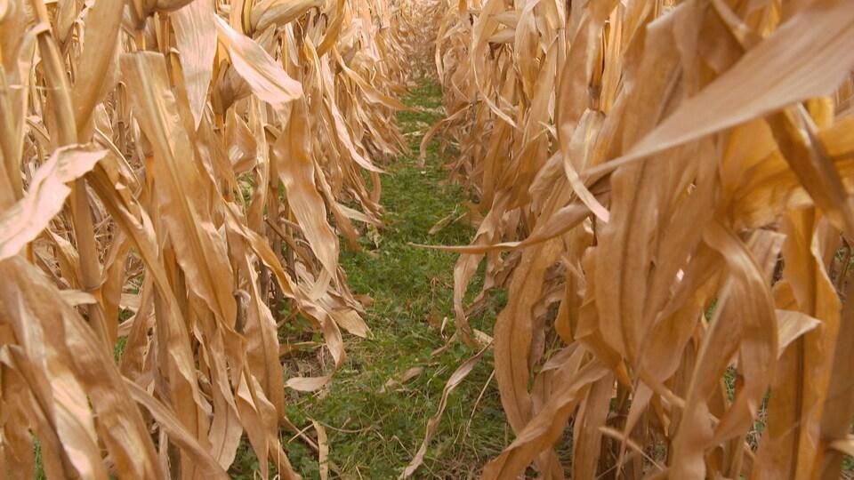 Rangs de maïs entre lesquels le producteur a semé une autre graminée.