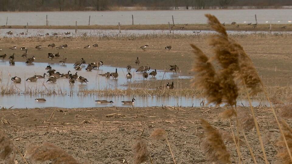 Il y a 30 ans, on croyait que ces marais profiteraient à la bernache, une espèce qu'on cherchait à protéger.