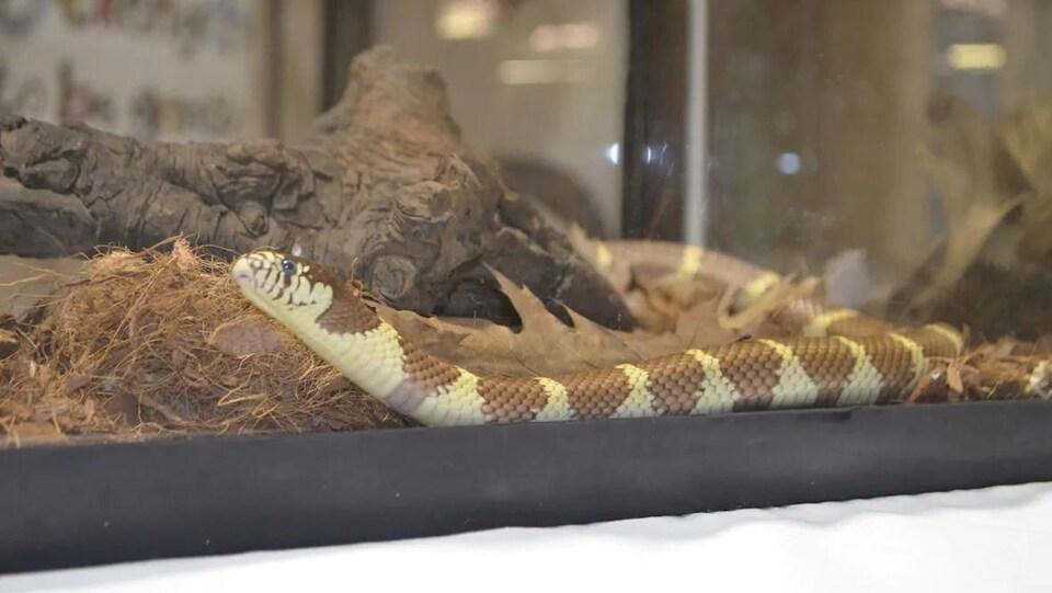 Un reptile dans un terrarium.
