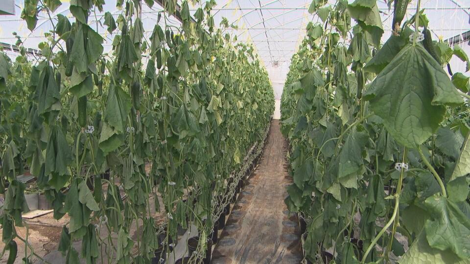 Dans une serre, des plants de concombres fanés