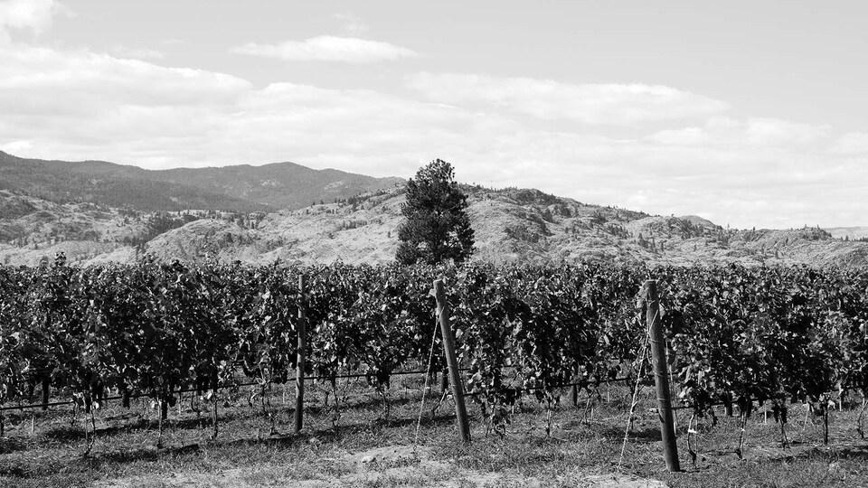 Des vignes au premier plan, un paysage montagneux en arrière plan.