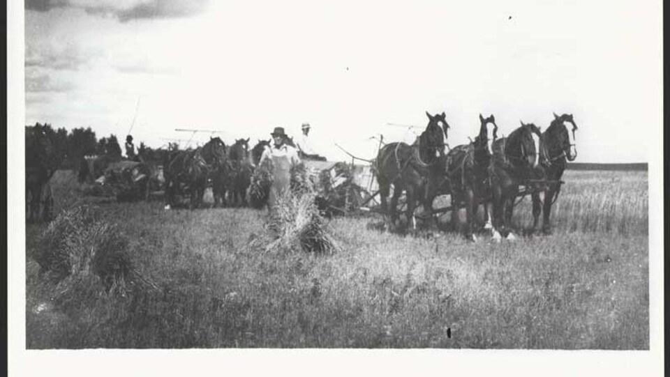 Photo d'archive de 1919 où se trouvent des chevaux qui tirent une charrue et un homme avec du foin dans les mains.
