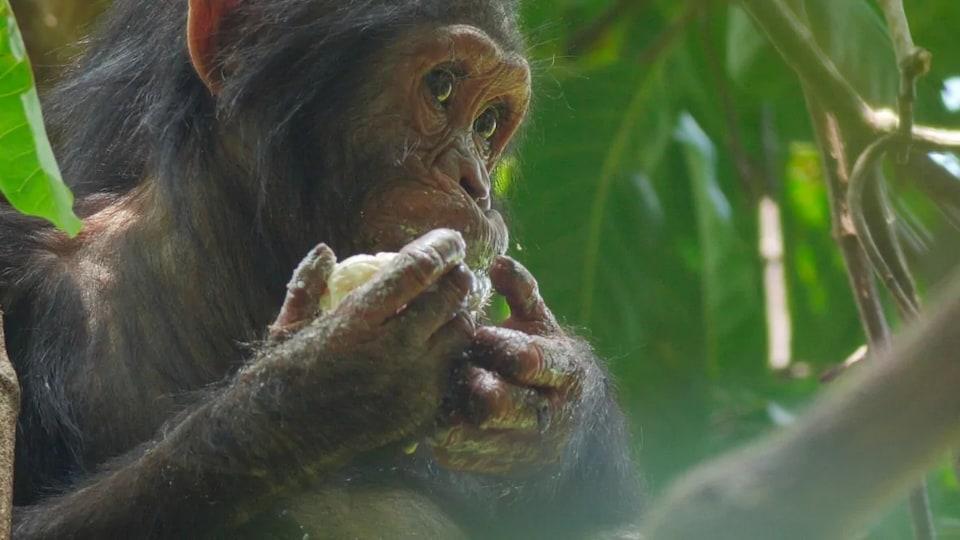Un chimpanzé mange une mangue.