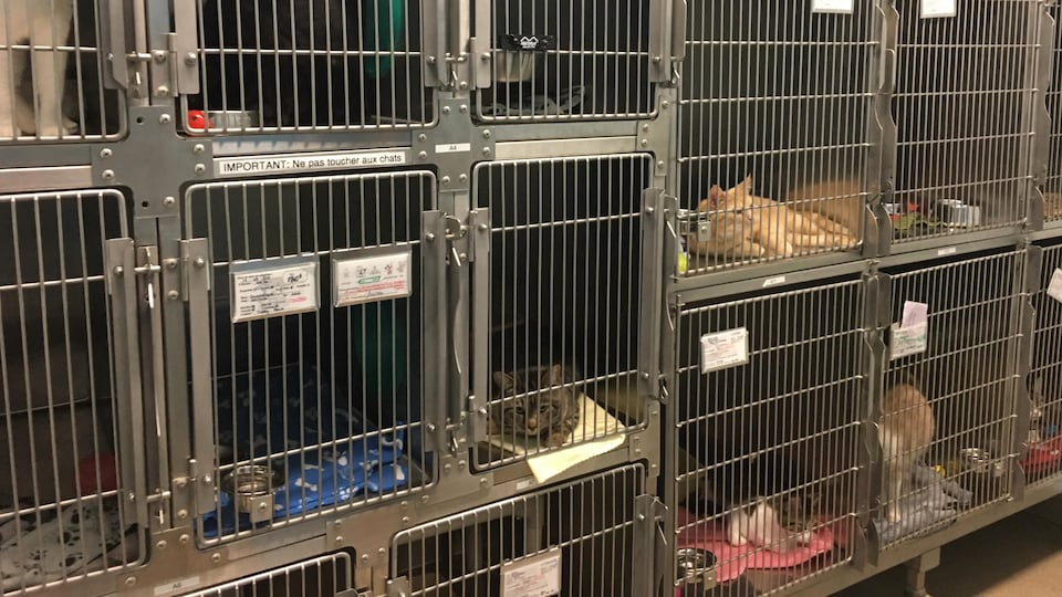 Des chats disponibles pour adoption à la SPA Mauricie.