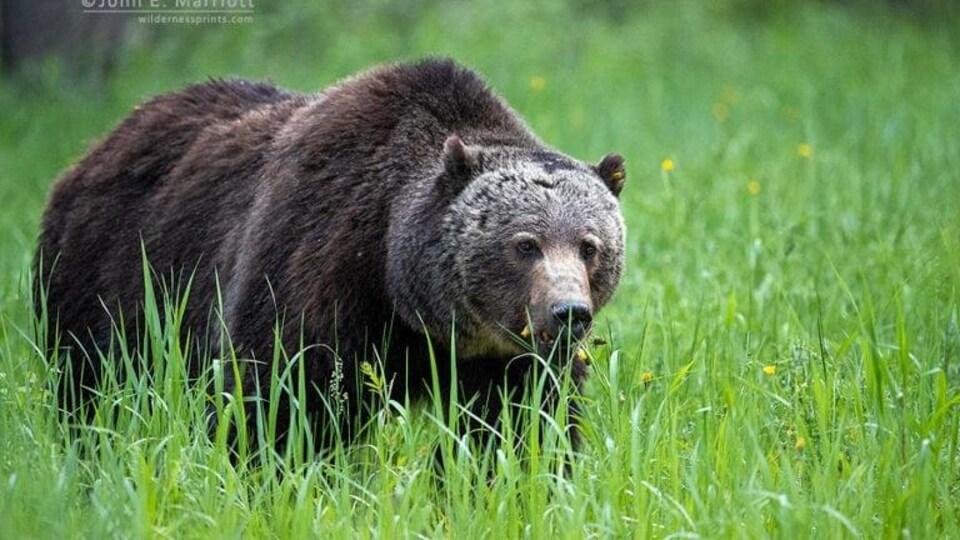 Un grizzly mâle dans un champ.