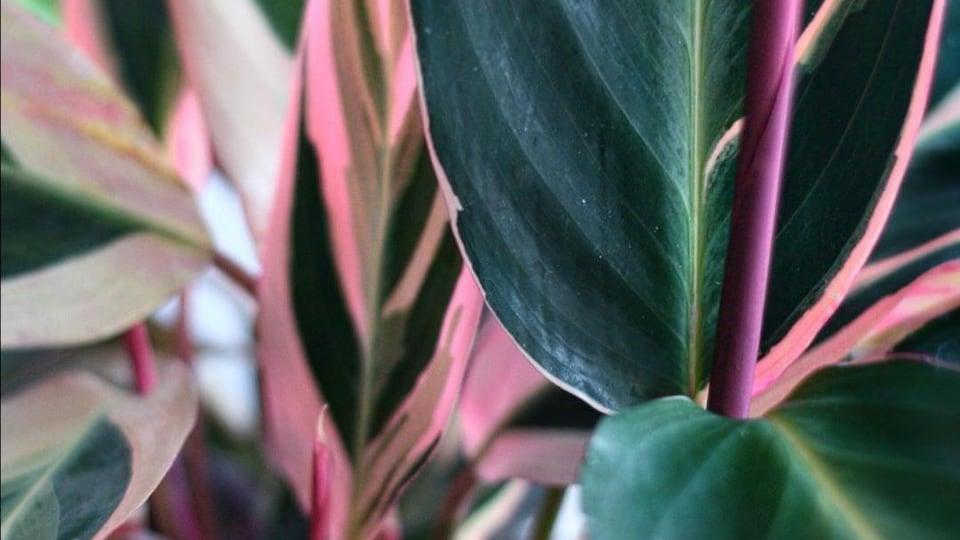 Gros plan de feuilles d'une plante verte avec des variégations roses et crèmes.