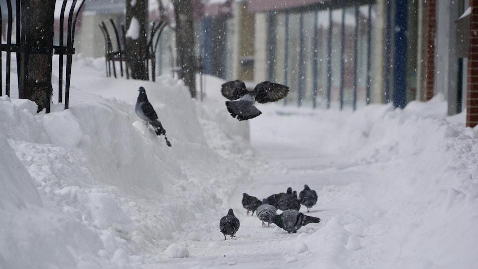 Des pigeons se regroupent sur le trottoir.