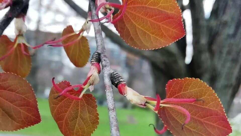 Les premières fleurs sur l'arbre à souhaits en mai.