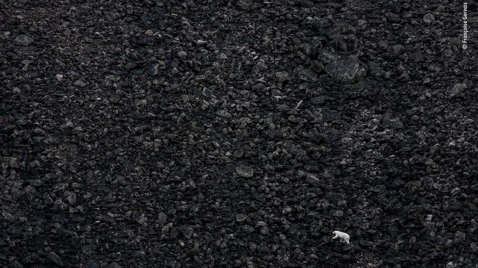 Un ours polaire marche sur une pente d'éboulis noir.