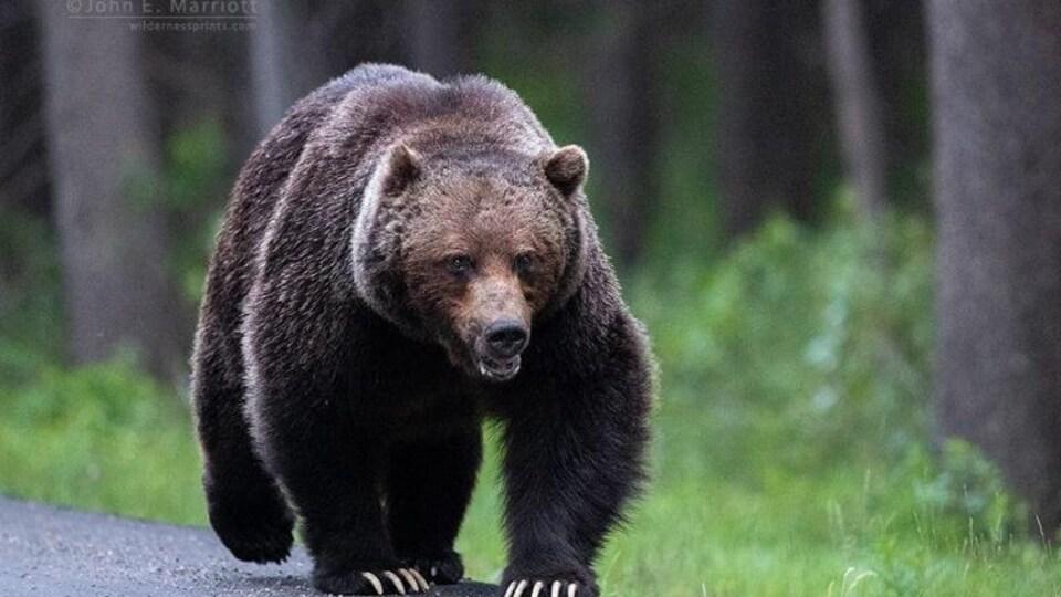 Un grizzly marche sur une route dans le parc national Banff, en Alberta.