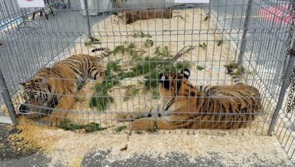Deux tigres exposés au gros soleil dans une cage au Festivent de Lévis