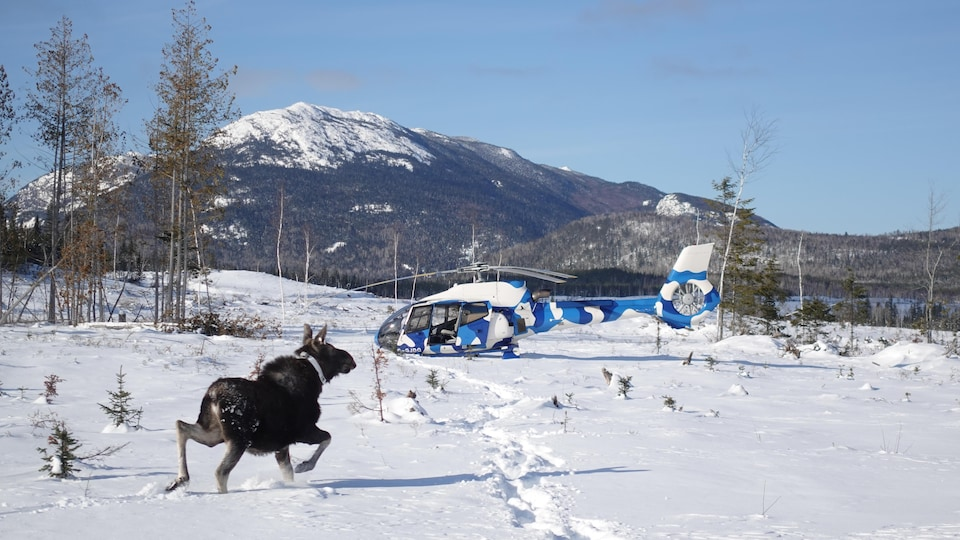 Un orignal se déplace librement dans la neige.